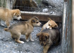"No matter where and why they are whelped, be it to be a pampered show dog destined for Westminster or a working dog destined to run the Iditarod, puppies will be puppies. This is a litter of 3-4 week old puppies. Since puppy socialization is important at this age, visitors are more than welcome to interact with them with the warning to keep them ""pointed away"" :)."
